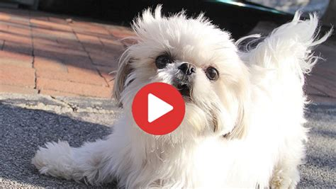 shih tzu don t shih tzu haircuts top 6 beautiful shih tzu haircuts shih tzu buzz