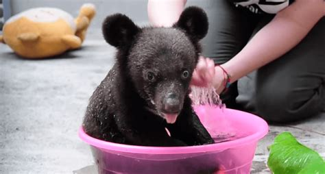 bathtub video adorable video of the day baby bear bath time video