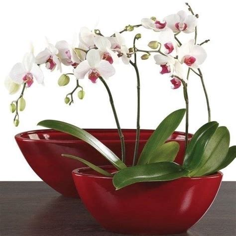 potatura orchidee in vaso orchidea cura orchidee come curare l orchidea