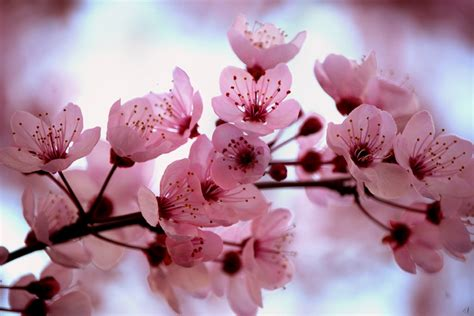 images of cherry blossoms sakura cherry blossom japan national flower full desktop backgrounds