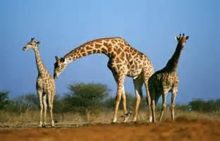 Imagenes De Jirafas Locas | 5 fascinantes curiosidades sobre las jirafas vix