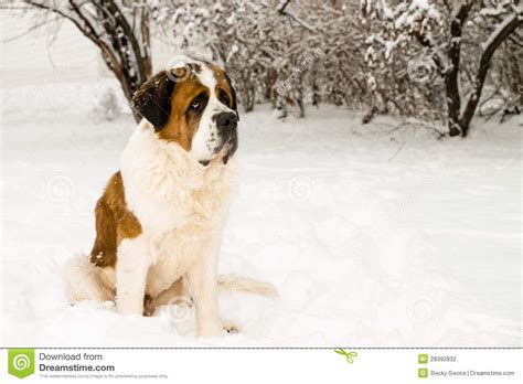 St Snow bernard in the snow stock photography image 28392832