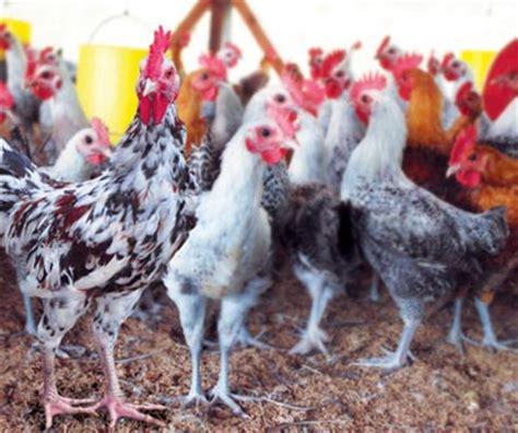 Paket Budidaya Bebek Pedaging Dengan Nasa Organik inseminasi buatan pada ayam bp4k kab gresik