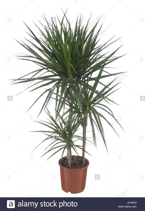 buy house plants now dracaena marginata green bakker com dragon tree dracaena marginata potted plant stock photo
