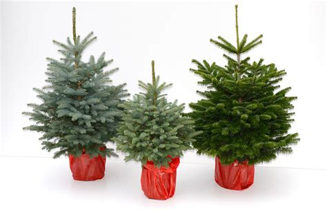 christmas trees pre tend be curious