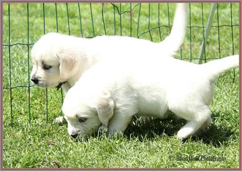 golden retriever puppies for sale in kent golden retriever puppies for sale herne bay kent pets4homes