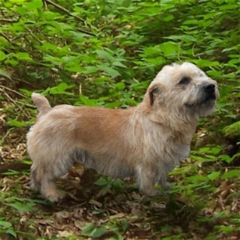 glen of imaal terrier puppies for sale glen of imaal terrier puppies for sale