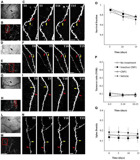 frontiers dendritic cell plasticity in frontiers rho gtpase dependent plasticity of dendritic