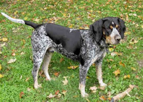bluetick coonhound puppy bluetick coonhound breed information pictures and facts alldogsworld