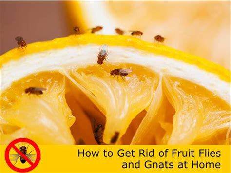 how to get rid of fruit flies and gnats at home authorstream