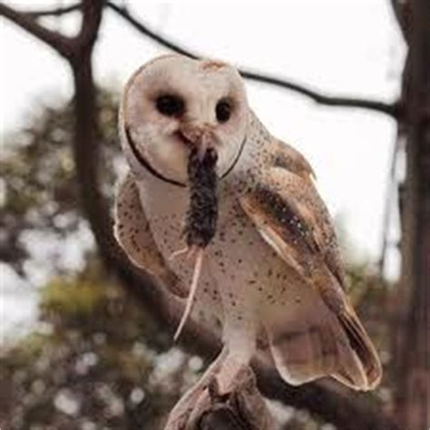 how to attract owls to your backyard how and why to attract owls to your backyard boys
