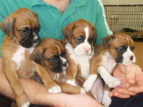 buy boxer puppy buy sell adopt boxer dogs all india pets world