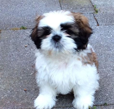 shih tzu temperment shih tzu puppies 2 dogs left great temperament luton bedfordshire pets4homes