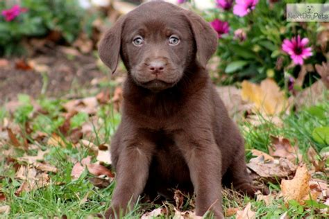 lab puppies for sale olympia wa chocolate lab puppies for sale driverlayer search engine