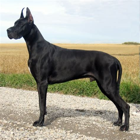 large houses for great danes great dane breed guide learn about the great dane
