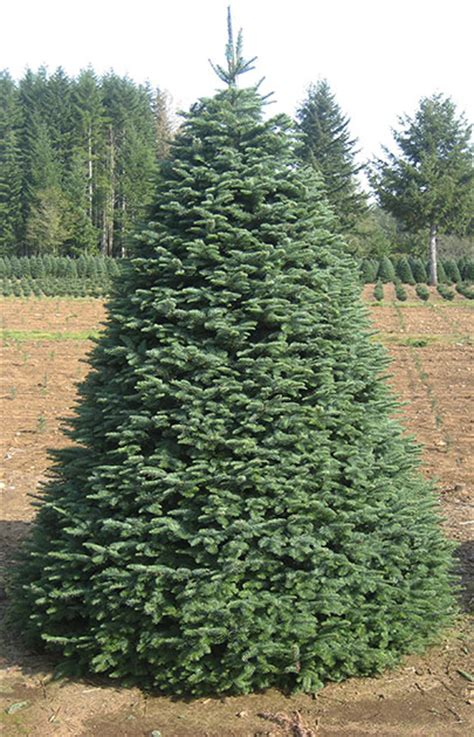 noble fir olympic christmas trees