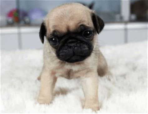 shih tzu how much they cost 8 important things to about pug shih tzu mix