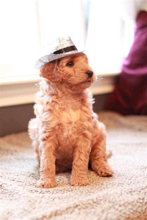 goldendoodle puppy not she s not goldendoodle puppy from river valley