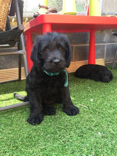 black labradoodle puppies for sale f1 black labradoodle puppies for sale lancashire pets4homes