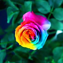 Pretty Flower Pots - colorful rainbow rose dec 18 2014