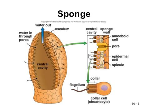 diagram of sponge animals pt1