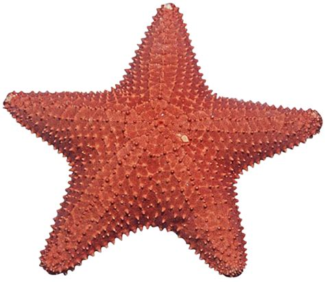 starfish images starfish png transparent free images png only