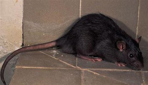 imagenes ratas asquerosas leo jara rata