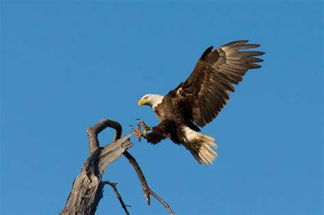 Foot Detox Eagles Landing by Bald Eagle Landing Free Stock Photo Domain Pictures