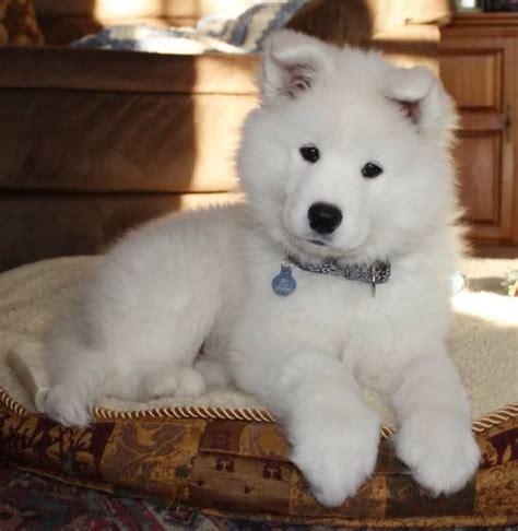samoyed puppies ohio 1000 ideas about samoyed puppies on samoyed samoyed dogs and fluffy dogs