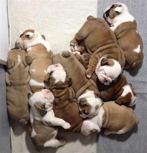 Bulldog Appartamento by Bulldog Inglese Tutte Le Caratteristiche Di Questa