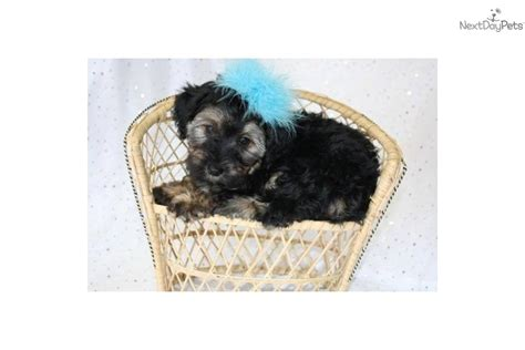 yorkie poo kansas city yorkiepoo yorkie poo puppy for sale near kansas city missouri 6384cafd a711