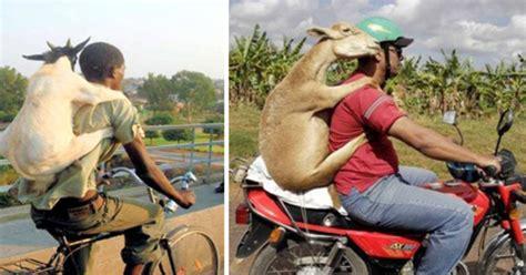 film lucu vietnam video kemesraan pria bonceng kambing di atas sepeda