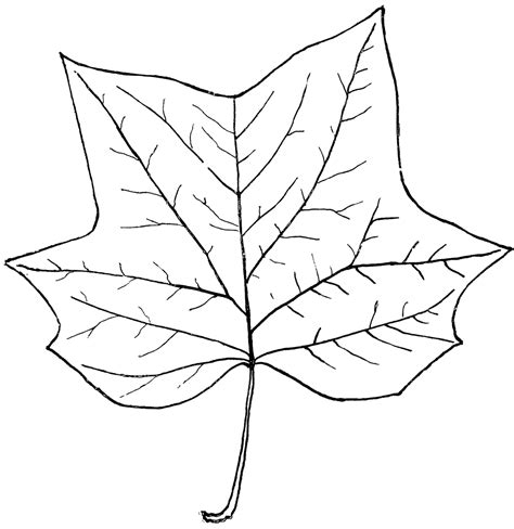 Tree Outline With Leaves by Genus Liriodendron L Tulip Tree Clipart Etc