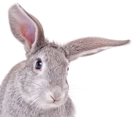 and rabbit what is the difference between a rabbit and a hare wonderopolis