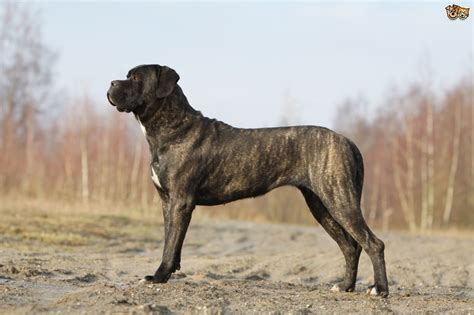 corso breed corso breed information buying advice photos and facts pets4homes