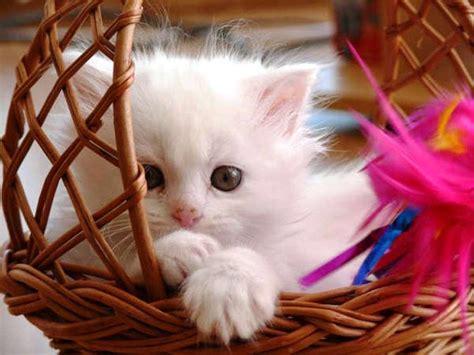 hd cute cat wallpapers   desktop