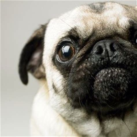 why does my pug his paws 2903 best images about pugs on a pug pug meme and pug