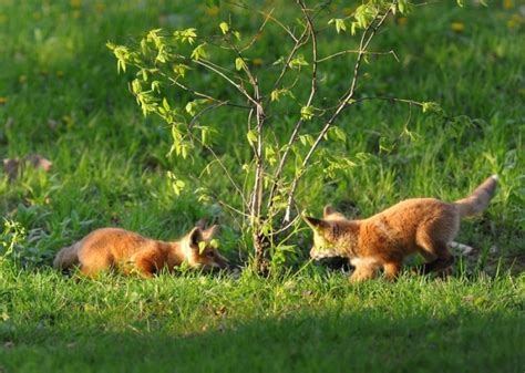 get rid of foxes in backyard looking to get rid of foxes effective wildlife solutions