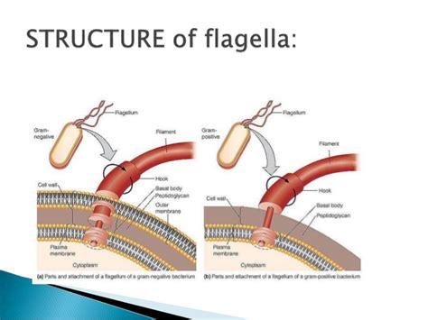 diagram of flagella image gallery flagellum function