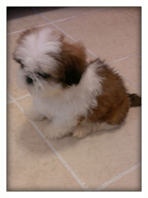 shih tzu puppies brown and white golden brown and white shih tzu puppy for sale bristol bristol pets4homes