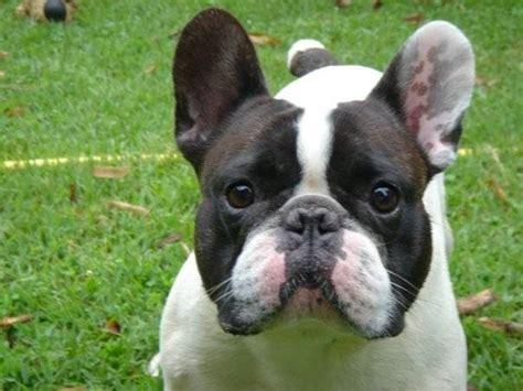 boxer appartamento boxer francese cani taglia media caratteristiche