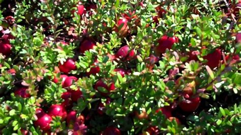 fruit trees for sale in nj cranberry bushes for sale edible landscaping with