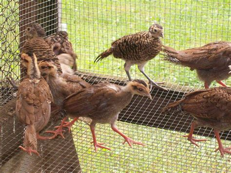 backyard pheasants lady amherst pheasants backyard chickens
