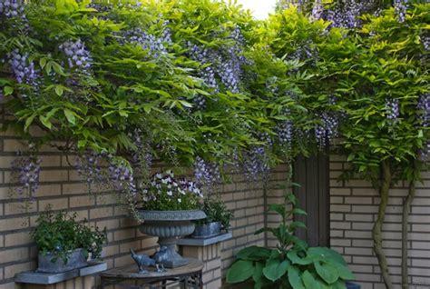 blauwe regen uitlopen 25 beste idee 235 n over blauwe tuin op pinterest