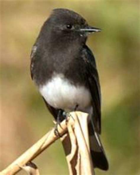 stiver birds