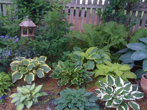 Hostas June Liberty So Sweet Jewel Of The Nile Blue Hosta Garden Layout