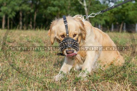buy golden retriever puppy uk golden retriever muzzle spiked muzzle for goldie 163 60 90