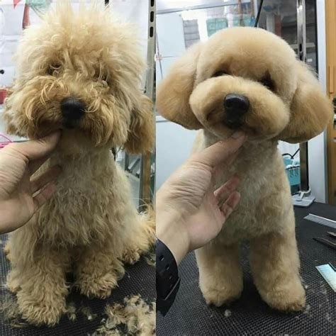 exles of poodle cuts styles repinned before after dog grooming dog grooming