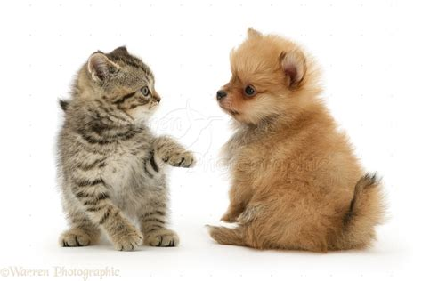Pets: British Shorthair kitten and Pomeranian pup photo