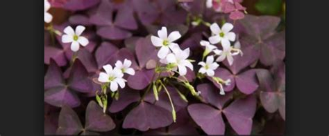 mengenal oxalis triangularis bunga kupu bagus